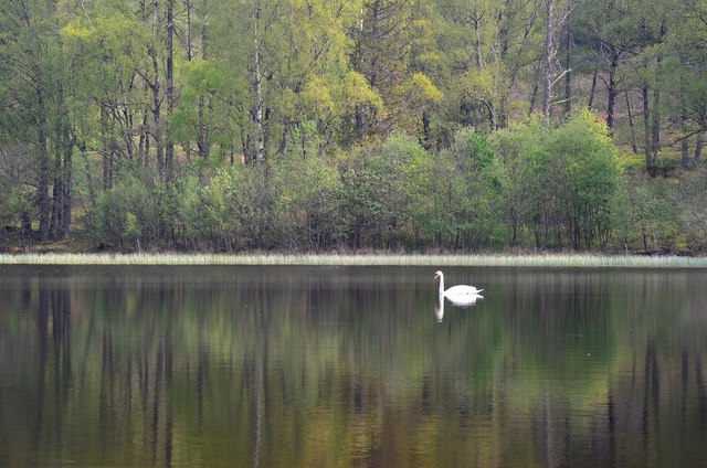 A swan on Mill Dam