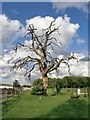 TQ1557 : Dead oak tree at Pachesham Equestrian Centre : Week 24