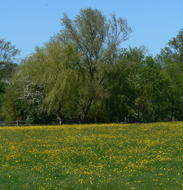 Buttercup covered field near Gaddesby