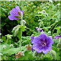 SO6424 : Geranium Johnson's Blue : Week 23
