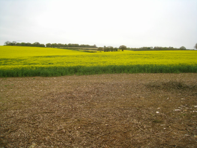 Oilseed rape near Bradley