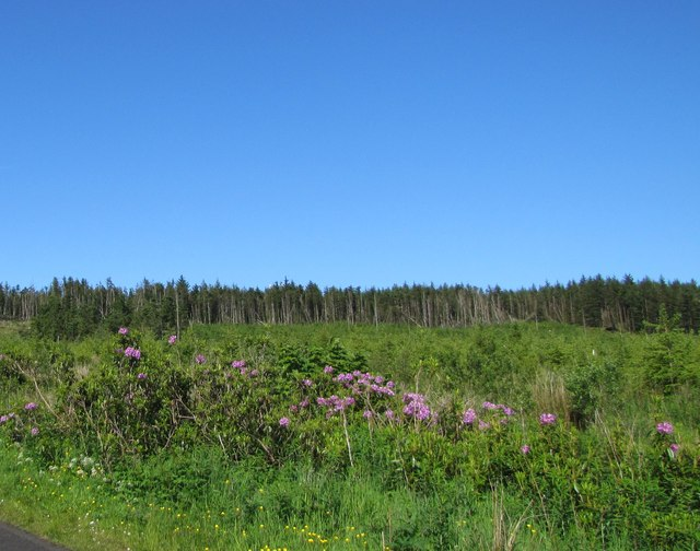 Wild rhododendrons at Binevenagh