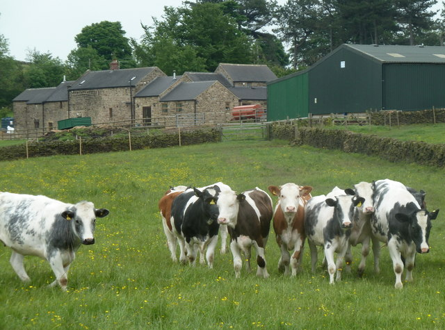 Cattle in a field near Blakelow Farm