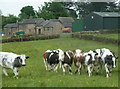 SK3361 : Cattle in a field near Blakelow Farm by Andrew Hill