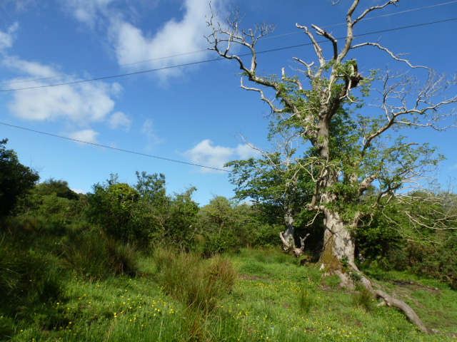 Ash tree at The Lough Head