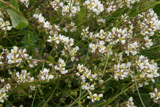 Common Scurvy-grass (Cochlearia officianalis), Norwick