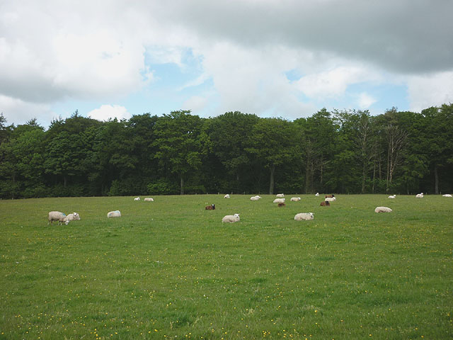 Sheep in pasture above Barnacre Lodge