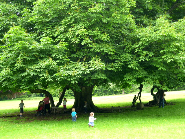 The old Horse Chestnut tree in Dun na Ri Forest Park