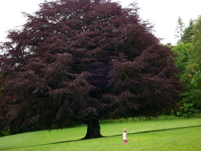 A Copper Beech In Dun Na Ri Forest Park 169 D Gore Cc By Sa