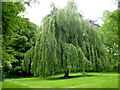 N7897 : A Weeping Beech in Dun na Ri Forest Park by D Gore