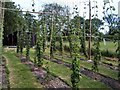 TQ7824 : Hops garden - Bodiam by Paul Gillett