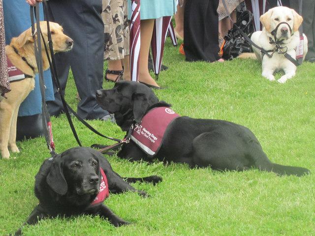 Black Labrador Assistance Dog