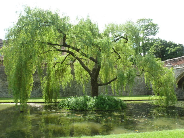 Eltham: willow in the Palace moat