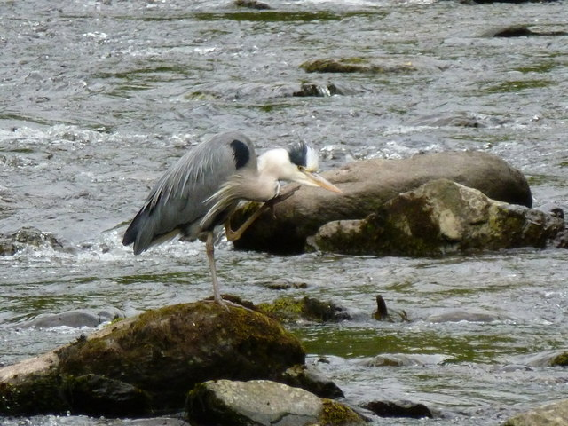 Heron, near Myrtleberry, on the East Lyn river