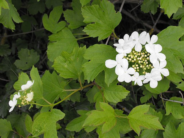 Guelder Rose in the hedge