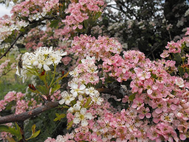 Hawthorn in flower