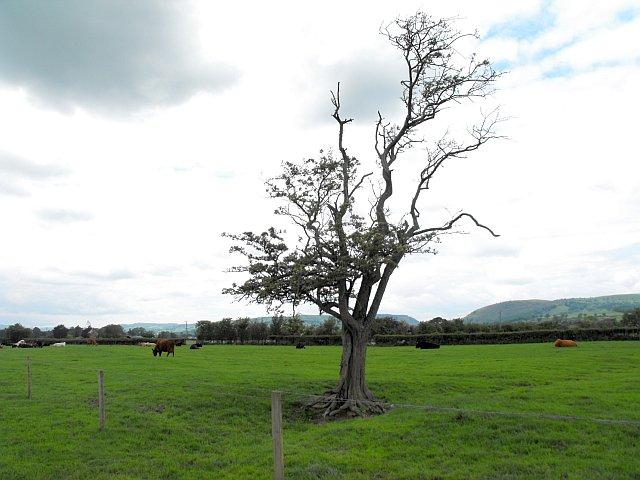 Scraggy hawthorn tree