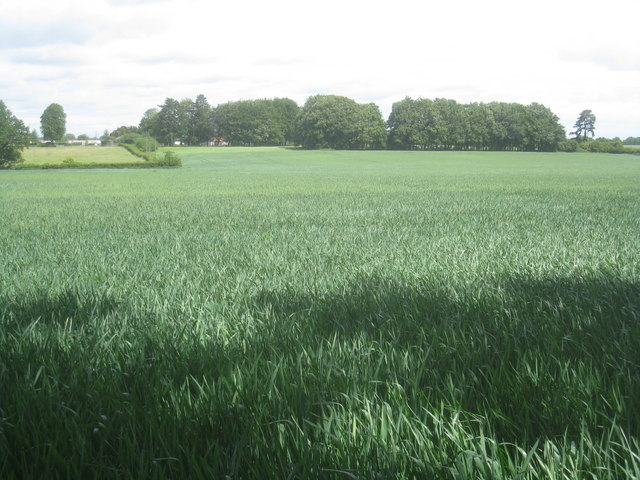 Winter wheat - east of Pardown