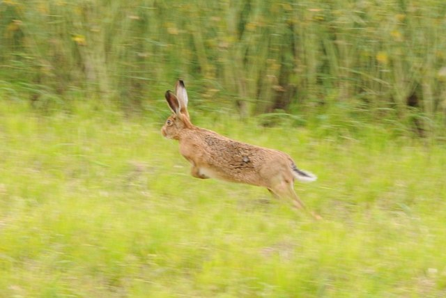 A hare on the run