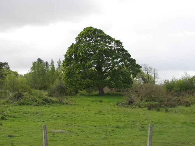 Sycamore tree, Stranorlar