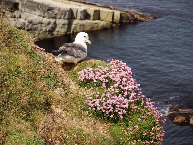 Fulmar in the Pink