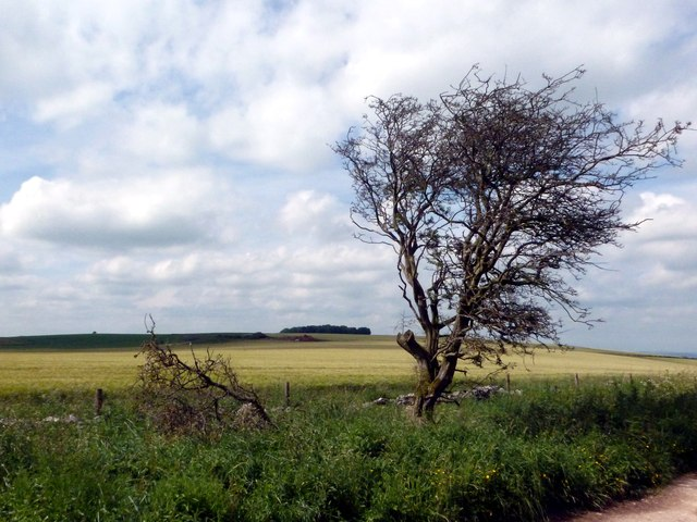 Wind blasted tree and barley field