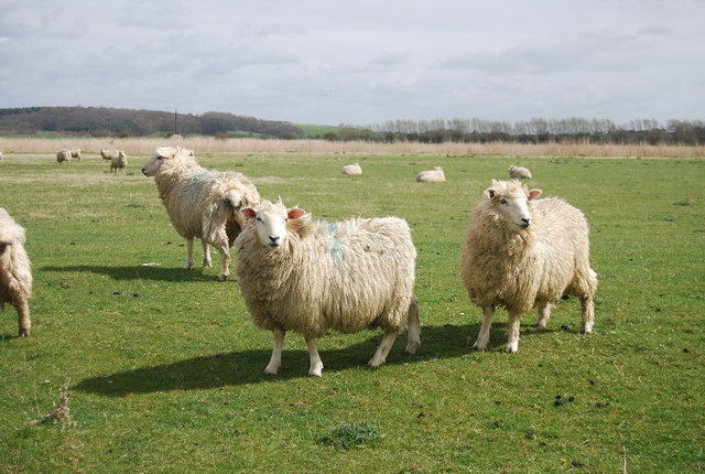 Romney Marsh sheep