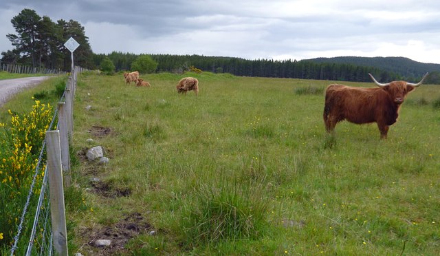 Highland cattle, near Clunes
