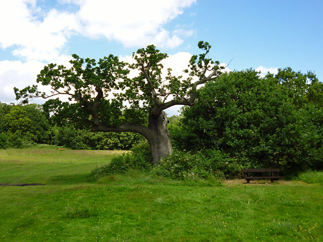 Attenuated oak, Weald Country Park