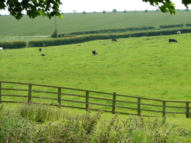 Cattle grazing on the east side of Grindale