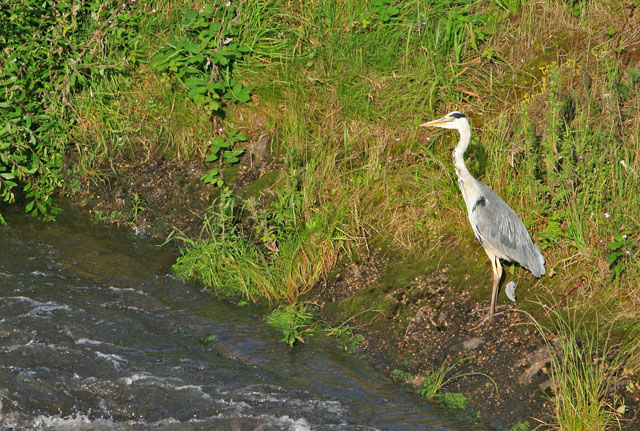 A heron beside the River Lean