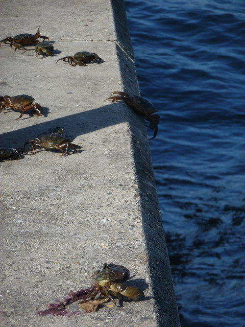 Mudeford: crabs return to the water