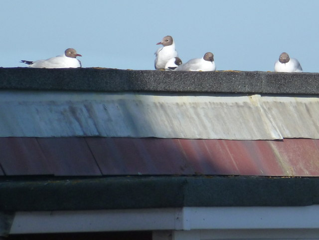 Mudeford: gulls on café roof