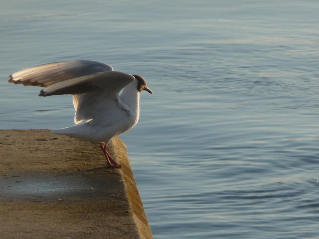 Mudeford: a gull lands