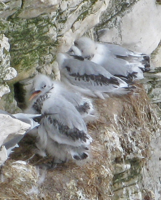 Kittiwake chicks at Bempton Cliffs