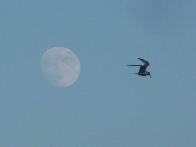Westbourne: a tern flies past the moon