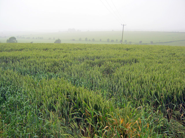 Wheat crop near Egmanton Hill Farm