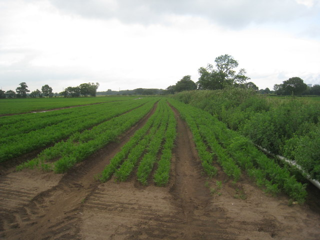 Field of carrots near Rosehill Farm