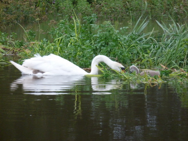 Longham: swan and cygnet on the swollen Stour