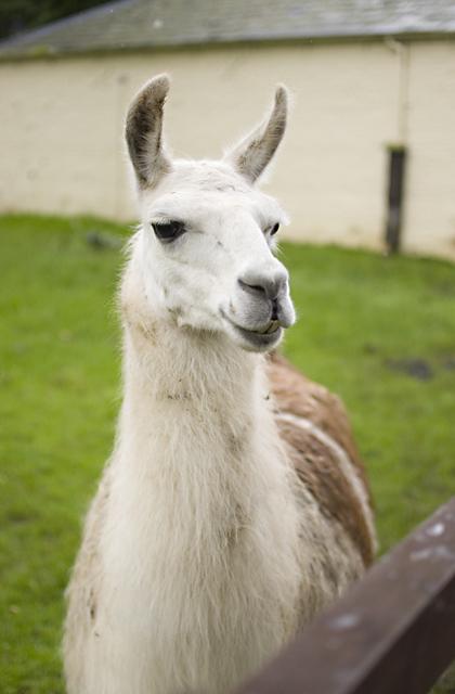 Llama at Sewerby