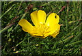 NZ3173 : Ranunculus or Creeping Buttercup by Christine Westerback