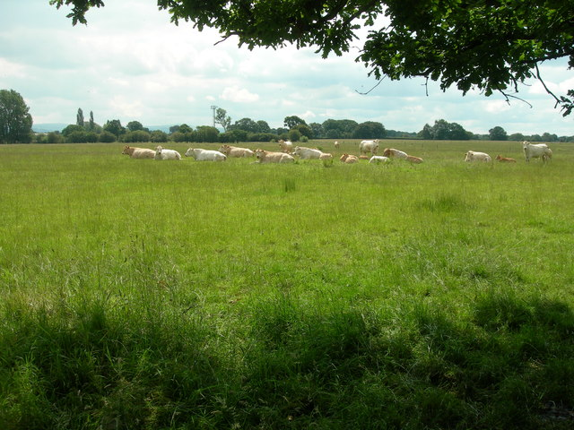 Cattle in a Cheshire Field