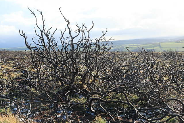 Burned moorland, Great Hangman