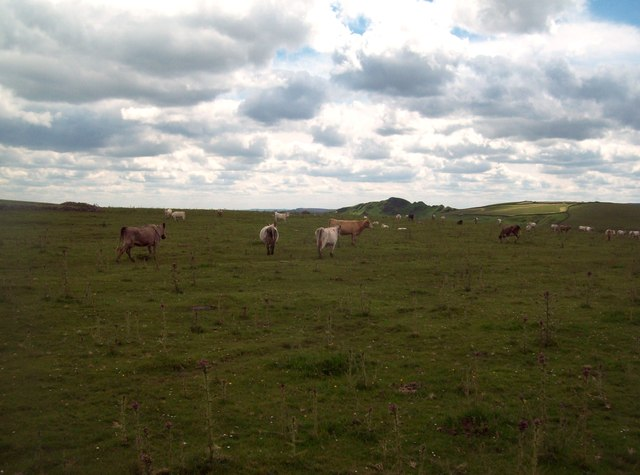 Cattle near Greensides