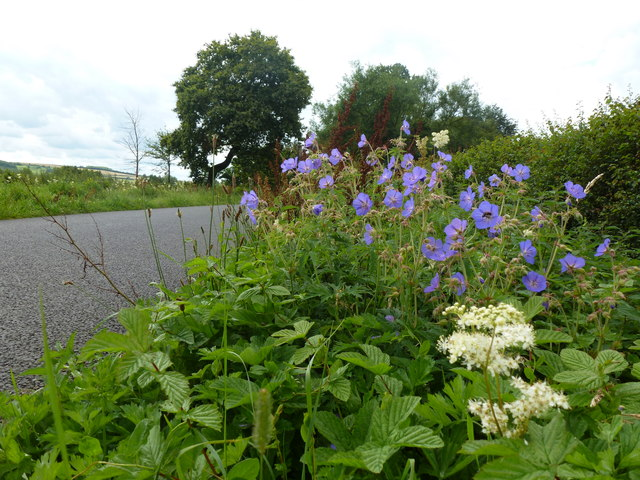 Cranesbill geraniums and meadowsweet beside Ham Road, near Colways Farm, Hasfield