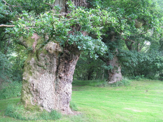 Two of the Cadzow Oaks