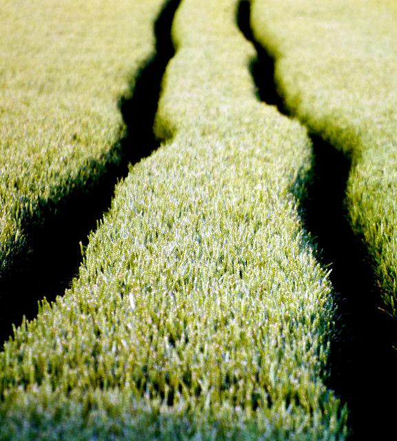 Tracks in Immature Wheat