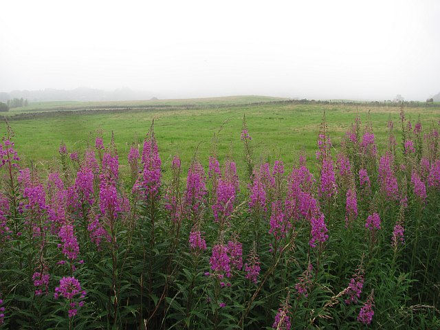 Rosebay willowherb, Rosehall