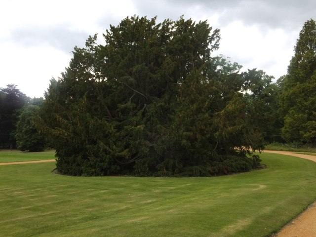 A weeping yew at St John's College