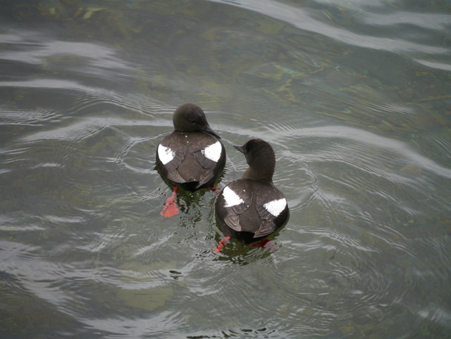 Black Guillemots (Cepphus grylle) In Oban Bay - Image #1